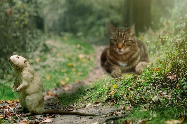 chat-souris